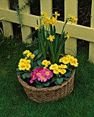 CONTAINER: BASKET PLANTED WITH PINK AND YELLOW PRIMULAS AND NARCISSUS TETE - A - TETE. DESIGNER: CLARE MATTHEWS
