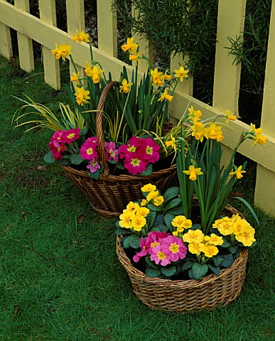 CONTAINER_BASKET_PLANTED_WITH_PINK_AND_YELLOW_PRIMULAS_AND_NARCISSUS_TETE__A__TETE_DESIGNER_CLARE_MA