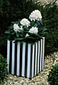 CONTAINER: SILVER AND WHITE TERRACOTTA POT PLANTED WITH RHODODENDRON ALPEN ROSE. DESIGNER: CLARE MATTHEWS