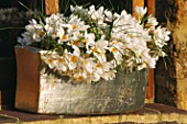 CONTAINER: SILVER TERRACOTTA PLANTER WITH CROCUS WHITE BEAUTY. DESIGNER: CLARE MATTHEWS