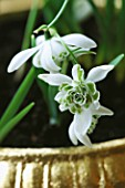 CONTAINER: CLOSE UP OF GOLD CONTAINER PLANTED WITH GALANTHUS FLORE PLENO. DESIGNER: CLARE MATTHEWS
