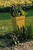 BUFF METAL CONTAINER PLANTED WITH RECREADO TULIPS AND ACORUS OGDEN. DESIGNER: CLARE MATTHEWS