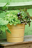 YELLOW BUCKET PLANTED WITH LETTUCES. DESIGNER: CLARE MATTHEWS