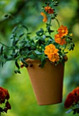 TERRACOTTA BEADED POT HANGING FROM A TREE PLANTED BY CLARE MATTHEWS WITH HELIANTHEMUM BEN MOIR