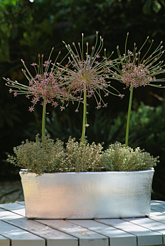 SILVER_TROUGH_PLANTED_WITH_THYMUS_CITRODUS_SILVER_QUEEN__AND_ALLIUM_SCHUBERTII_DESIGNER_CLARE_MATTHE