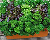 DESIGNER: CLARE MATTHEWS: WOODEN BOX CONTAINER PLANTED WITH PARSLEY AND LETTUCES