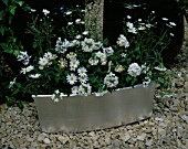 SILVER TROUGH PLANTED WITH MARGUERITES  WHITE MATTHIOLA (STOCK) AND WHITE OSTEOSPERMUM; DESIGNER: CLARE MATTHEWS