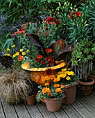 ORANGE MARBLED CONTAINER PLANTED WITH ACHILLEA WALTER FUNCKE  CANNA TROPICANA AND GAZANIA GAZOO SURROUNDED BY ORANGE LILIES AND AEONIUM ZWARTKOP IN POTS. DESIGNER: CLARE MATTHEWS