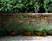 ROW OF TERRACOTTA CONTAINERS PLANTED WITH OLIVES (OLEA EUROPAEA) AND LAVANDULA AUGUSTIFOLIA. DESIGNER: CLARE MATTHEWS