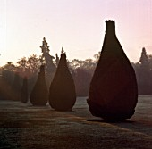 EARLY MORNING LIGHT HITS A ROW OF PEAR SHAPED IRISH YEWS ON THE NORTH LAWN OF PYRFORD COURT  SURREY