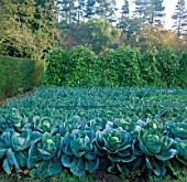 ROWS OF CABBAGES IN THE VEGETABLE GARDEN AT PYRFORD COURT  SURREY