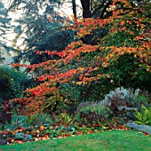 THE BEAUTIFUL AUTUMN FOLIAGE OF THE PERSIAN IRONWOOD TREE  PARROTIA PERSICA IN THE WILD GARDEN AT PYRFORD COURT  SURREY
