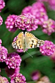 SEASIDE GARDEN  GUERNSEY: PAINTED LADY BUTTERFLY ON THRIFT