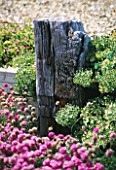 SEASIDE GARDEN  GUERNSEY: A WOODEN GROYNE WITH THRIFT GROWING IN FRONT