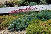SEASIDE GARDEN  GUERNSEY: WOODEN BOARDWALK WITH THRIFT  CRASSULA AND APRENIA CORDIFOLIA IN SEASIDE GRAVEL GARDEN