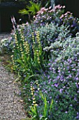 DESIGNER: JANE RUSSELL  MILLE FLEURS  GUERNSEY: BORDER BY HOUSE PLANTED WITH SISYRINCHIUM STRIATUM  CONVOLVULUS SABATIUS  HELICHRYSUM PETIOLARE AND LINARIA CANON WENT