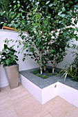 WHITE ROOF TERRACE WITH RAISED BED WITH BETULA UTILIS VAR JACQUEMONTII AND METAL CONTAINER PLANTED WITH ZANTEDESCHIA AETHIOPICA. DESIGN : AMIR SCHLEZINGER/ MY LANDSCAPES