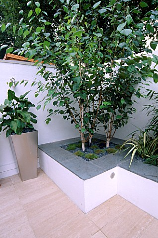 WHITE_ROOF_TERRACE_WITH_RAISED_BED_WITH_BETULA_UTILIS_VAR_JACQUEMONTII_AND_METAL_CONTAINER_PLANTED_W