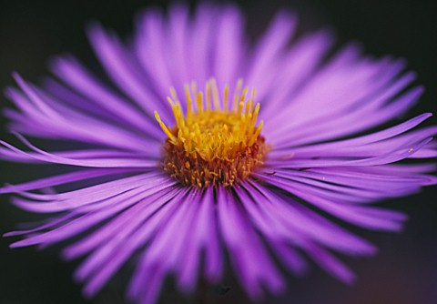 ASTER_TREASURE_THE_PICTON_GARDEN__WORCESTERSHIRE