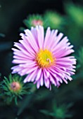 ASTER NOVAE-ANGLIAE HARRINGTONS PINK. THE PICTON GARDEN  WORCESTERSHIRE
