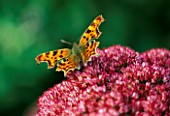 COMMA OR TATTY TORTOISESHELL BUTTERFLY ON SEDUM AUTUMN JOY. THE PICTON GARDEN  WORCESTERSHIRE