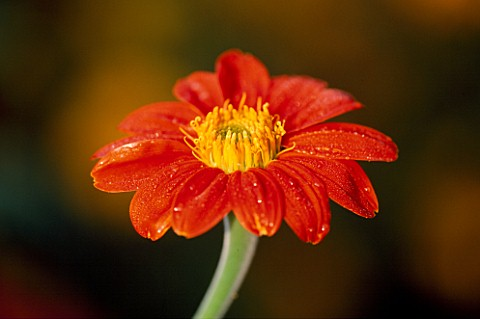TITHONIA_ROTUNDIFOLIA_TORCH