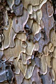 THE ARLEY ARBORETUM  WORCESTERSHIRE  IN AUTUMN: CLOSE UP OF BARK OF THE CRIMEAN PINE  PINUS NIGRA SUBSP PALLASIANA