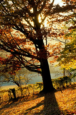 ARLEY_ARBORETUM__WORCESTERSHIRE_EVENING_LIGHT_SHINING_THROUGH_THE_BRANCHES_OF_A_RED_OAK_QUERCUS_RUBR