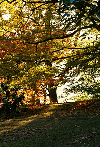 ARLEY_ARBORETUM__WORCESTERSHIRE_EVENING_LIGHT_SHINES_THROUGH_A_RED_OAK_QUERCUS_RUBRA_AND_A__ZELKOVA_