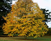 ARLEY ARBORETUM  WORCESTERSHIRE: A MAGNIFICENT ACER SACCHARUM IN AUTUMN