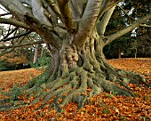 ARLEY ARBORETUM  WORCESTERSHIRE: TRUNK AND LEAVES OF A BEECH TREE IN AUTUMN