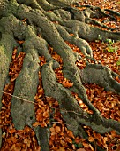 ARLEY ARBORETUM  WORCESTERSHIRE: ROOTS  AND LEAVES OF A BEECH TREE IN AUTUMN