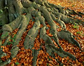 ARLEY ARBORETUM  WORCESTERSHIRE: ROOT AND LEAVES OF A BEECH TREE IN AUTUMN