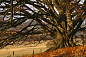 ARLEY ARBORETUM  WORCESTERSHIRE: A MAGNIFICENT BEECH TREE IN AUTUMN