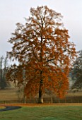 ARLEY ARBORETUM  WORCESTERSHIRE: A MAGNIFICENT OAK TREE IN AUTUMNAL COLOURS