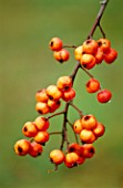 PETTIFERS  OXFORDSHIRE: CRATAEGUS LACINIATA