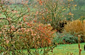PETTIFERS  OXFORDSHIRE: CRATAEGUS LACINIATA  SORBUS VILMORINII AND SORBUS JOSEPH ROCK