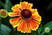 PETTIFERS  OXFORDSHIRE: HELENIUM AUTUMNALE SAHINS EARLY FLOWERER
