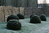 CLIPPED YEW DOMES AGAINST WOVEN WILLOW FENCING.  JOHN MASSEYS GARDEN  WORCESTERSHIRE