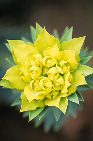 EUPHORBIA_RIGIDA_SPRING_FLOWERING