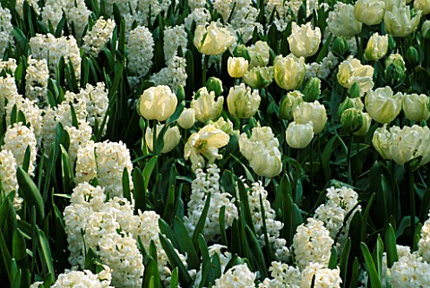 KEUKENHOF_GARDENS__HOLLAND_HYACINTH_AIOLOS_WITH_TULIP_WHITE_PARROT