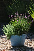 DESIGNER CLARE MATTHEWS: RELAXING BATH PROJECT: POWDER BLUE METAL CONTAINER PLANTED WITH CHAMOMILE (CHAMAEMELUM NOBILE FLORE PLENO & LAVAENDULA MUNSTEAD DWARF LAVENDER