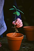 DESIGNER: CLARE MATTHEWS. ROOTS AND SHOOTS PROJECT. GIRL PLANTING TINY OAK SAPLING IN A TERRACOTTA CONTAINER