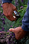 DOWNDERRY NURSERY  KENT. SIMON CHARLESWORTH CUTTING OF HEADS OF AN ANGUSTIFOLIA LAVENDER