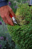 DOWNDERRY NURSERY  KENT. SIMON CHARLESWORTH CUTTING  AN ANGUSTIFOLIA LAVENDER FOLIAGE BACK TO 6-9 INCHES