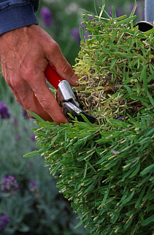 DOWNDERRY_NURSERY__KENT_SIMON_CHARLESWORTH_CUTTING__AN_ANGUSTIFOLIA_LAVENDER_FOLIAGE_BACK_TO_69_INCH