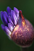 EMERGING BUDS OF AGAPANTHUS MIDNIGHT STAR
