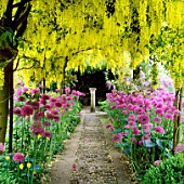 THE LABURNUM ARCH  WITH ALLIUM AFLATUNENSE. BARNSLEY HOUSE GARDEN  GLOUCESTERSHIRE