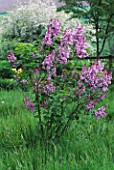 PETTIFERS GARDEN  OXFORDSHIRE: SYRINGA VULGARIS MADAME ANTOINE BUCHNER GROWING IN THE MEADOW
