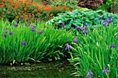 THE POND AT BROOK COTTAGE  OXFORDSHIRE  WITH IRIS LAEVIGATA  HOSTAS AND IN B/G EUPHORBIA GRIFFITHII FIREGLOW.
